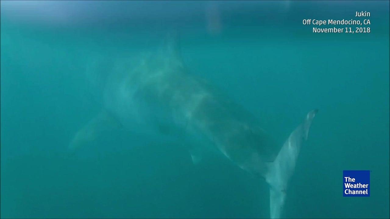 Pescador tiene aterrador encuentro con un enorme tiburón blanco