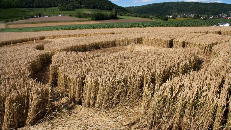 Experten liefern Erklärung für mysteriöse Kreise im Kornfeld