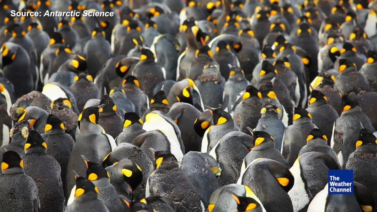 Largest colony of king penguins declines by 90 per cent