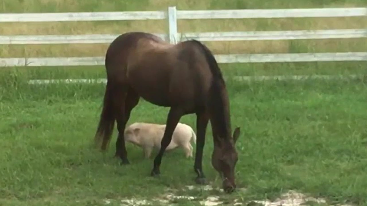 pig and horse are buddies