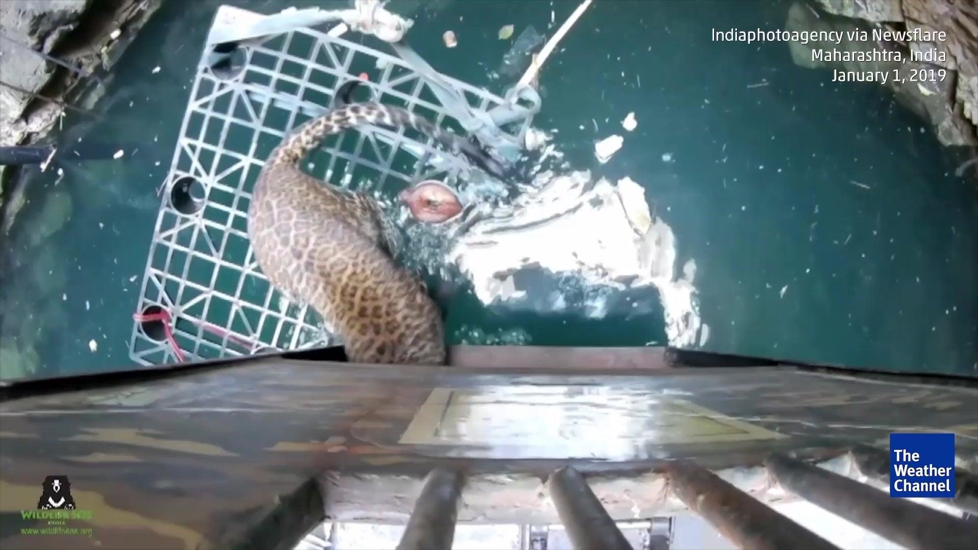 Indien: Leopard röhrt im Brunnen - Dorfbewohner tun genau das Richtige