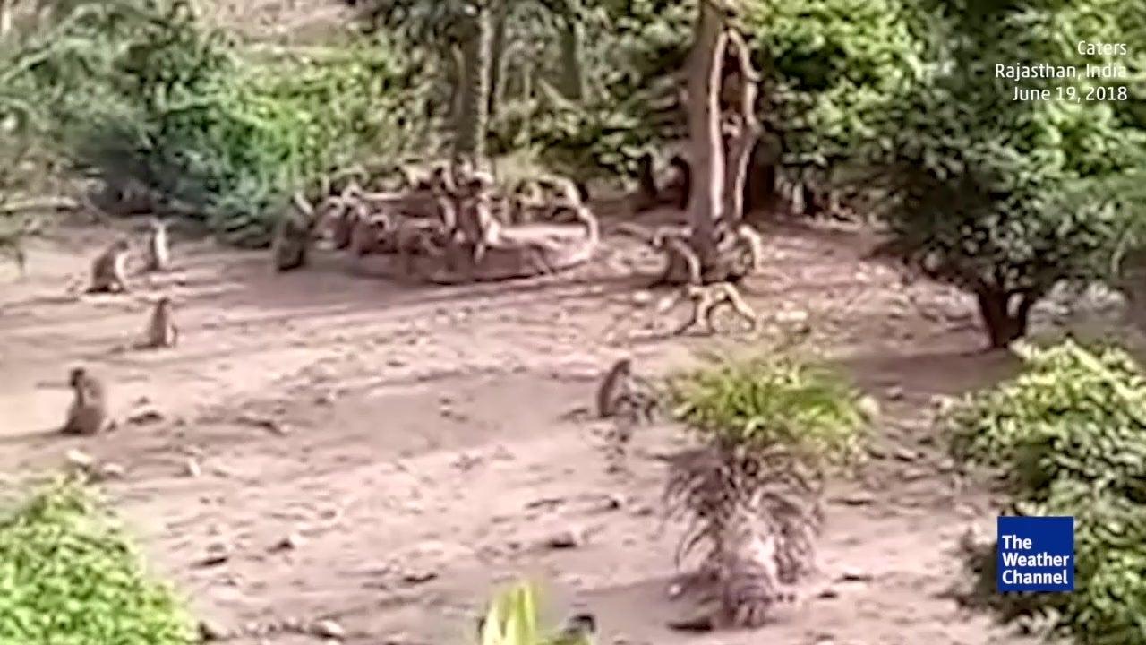 Curiosity Saves Big Cat in India