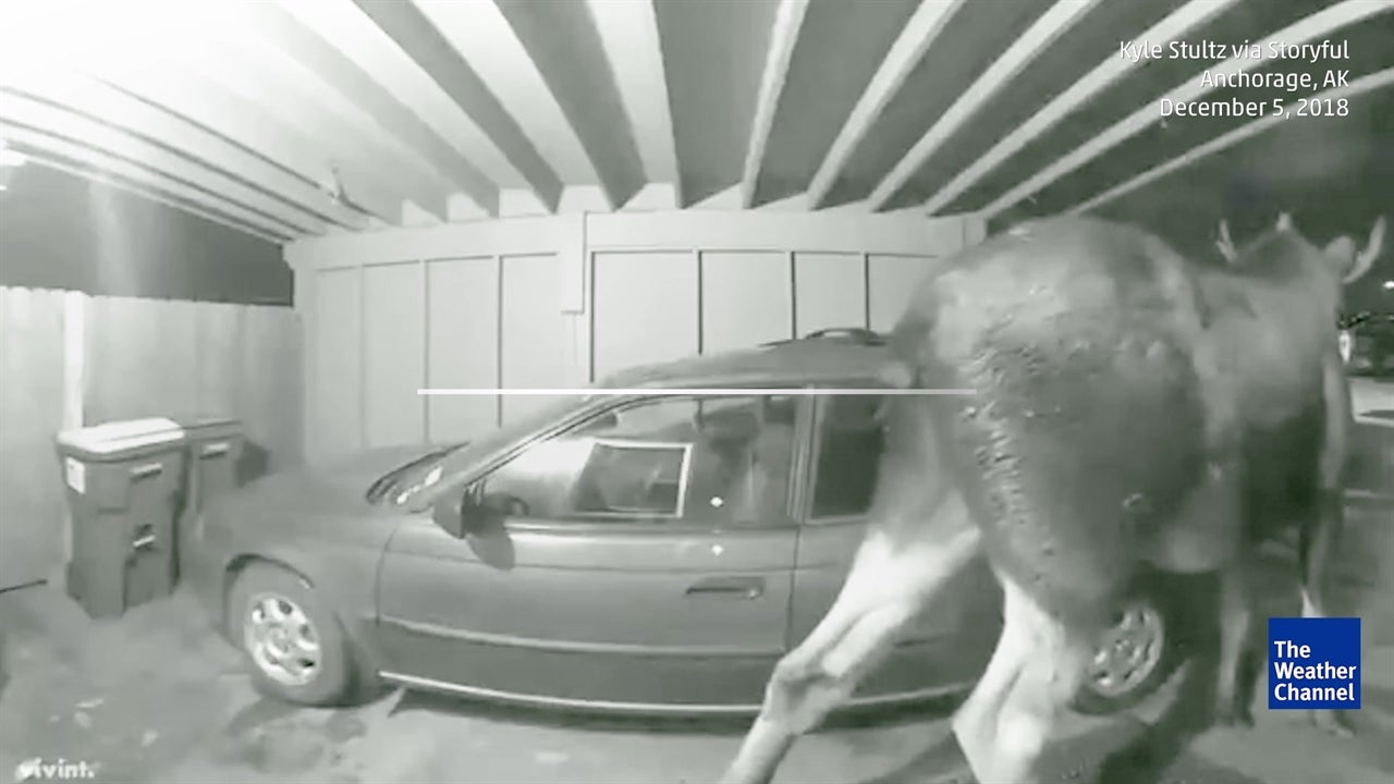 Pranked by a Moose!