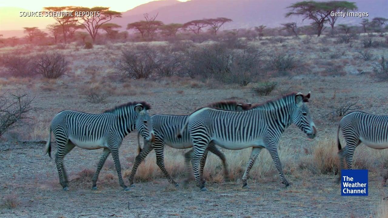Zebra Stripes Theory Debunked
