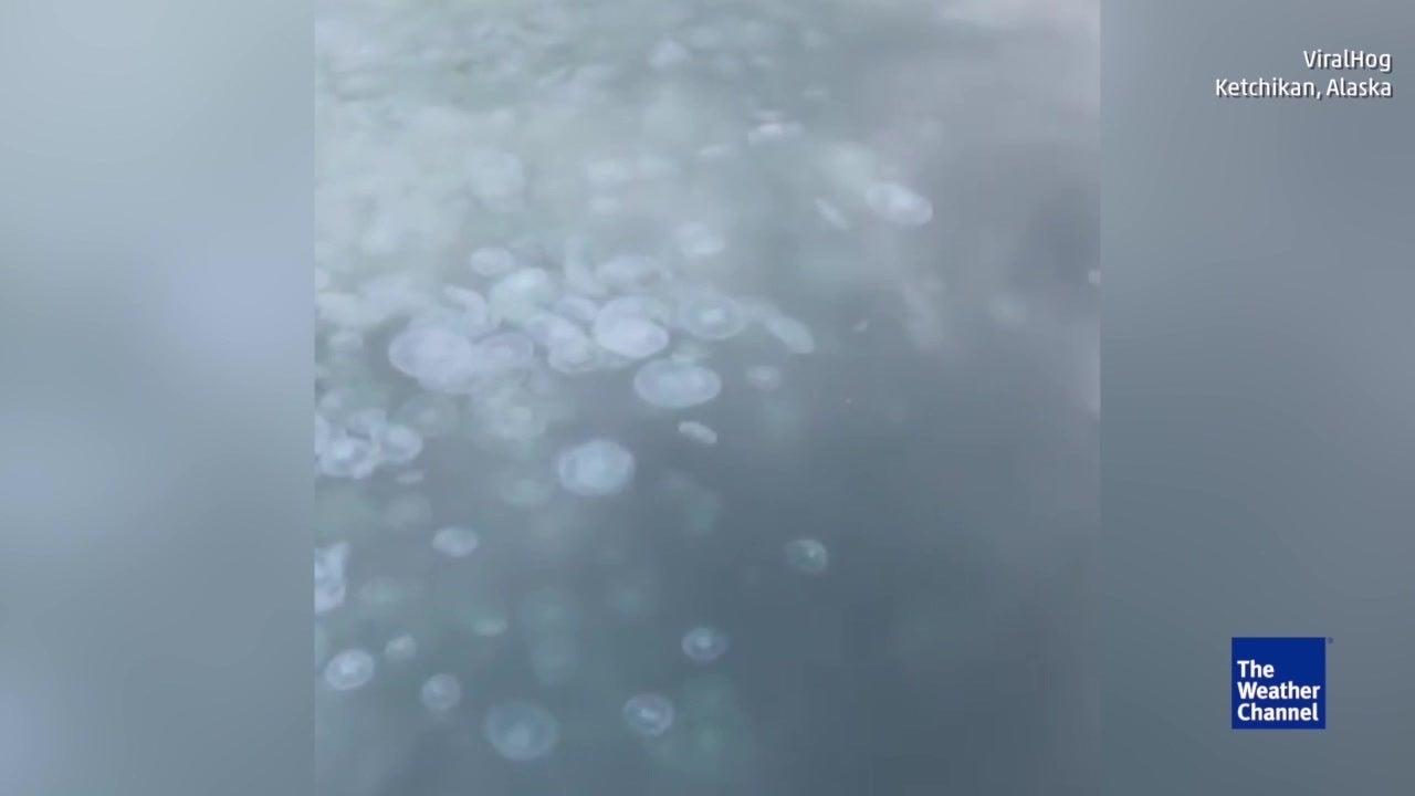 Qualleninvasion in Hafen von Alaska erstaunt Anwohner