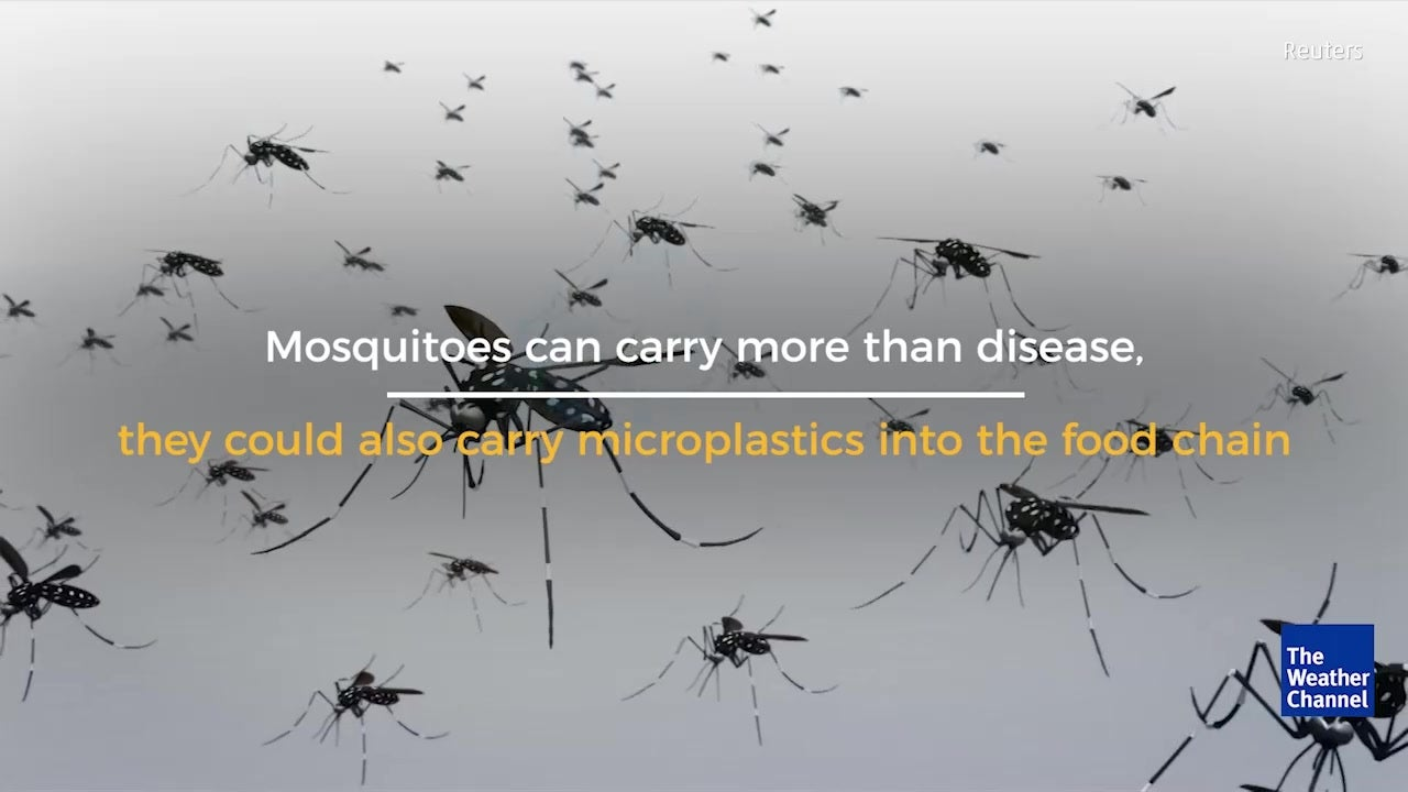 Mosquitoes Carrying Microplastics Up Food Chain?