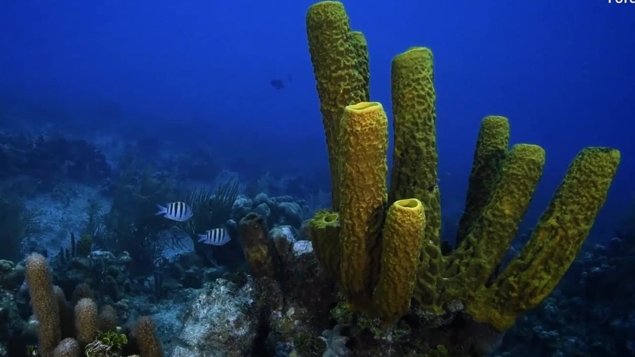Coral Displaced During Hurricanes Restored