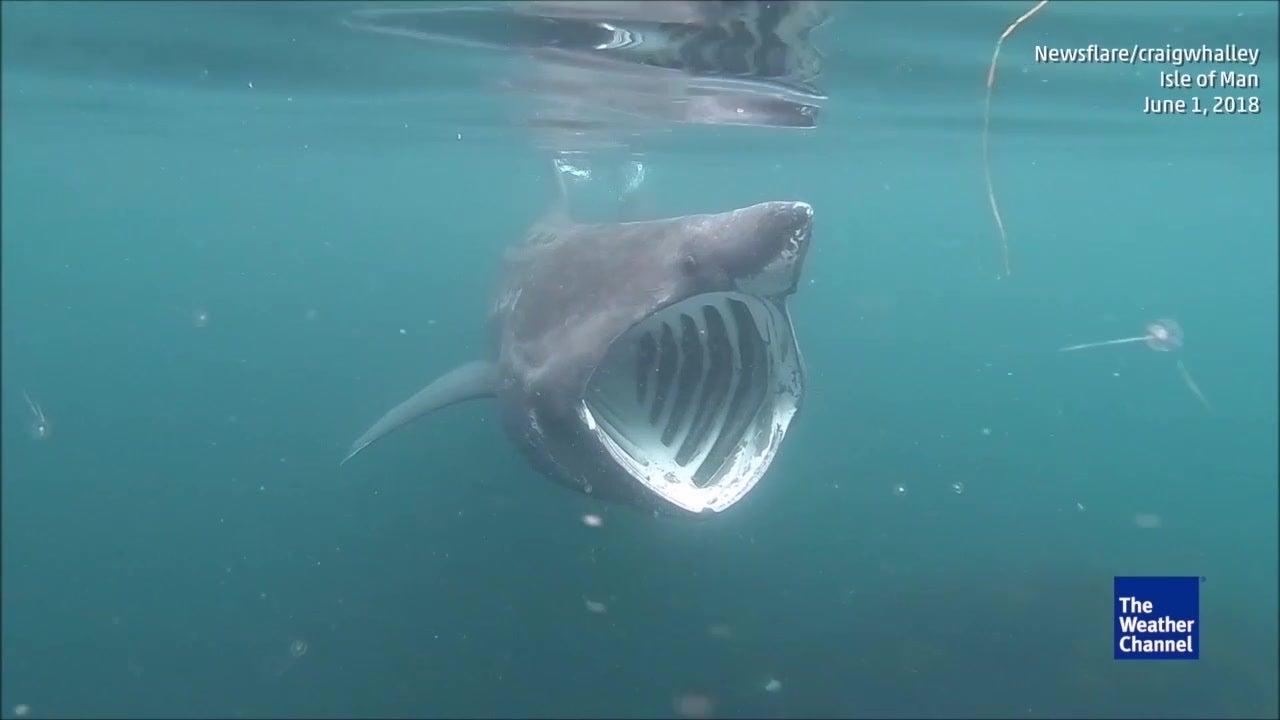 Riesenhai kommt Kajak ganz nah