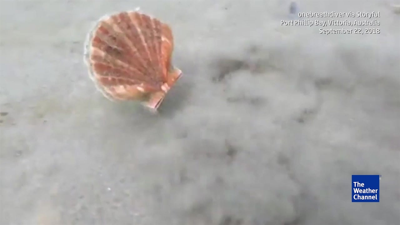 Amusing fast moving scallop caught on camera