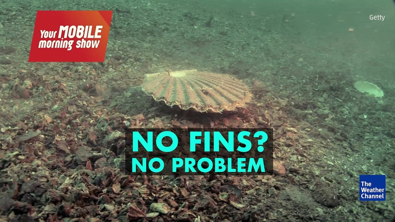 Watch: How does a sea scallop swim?