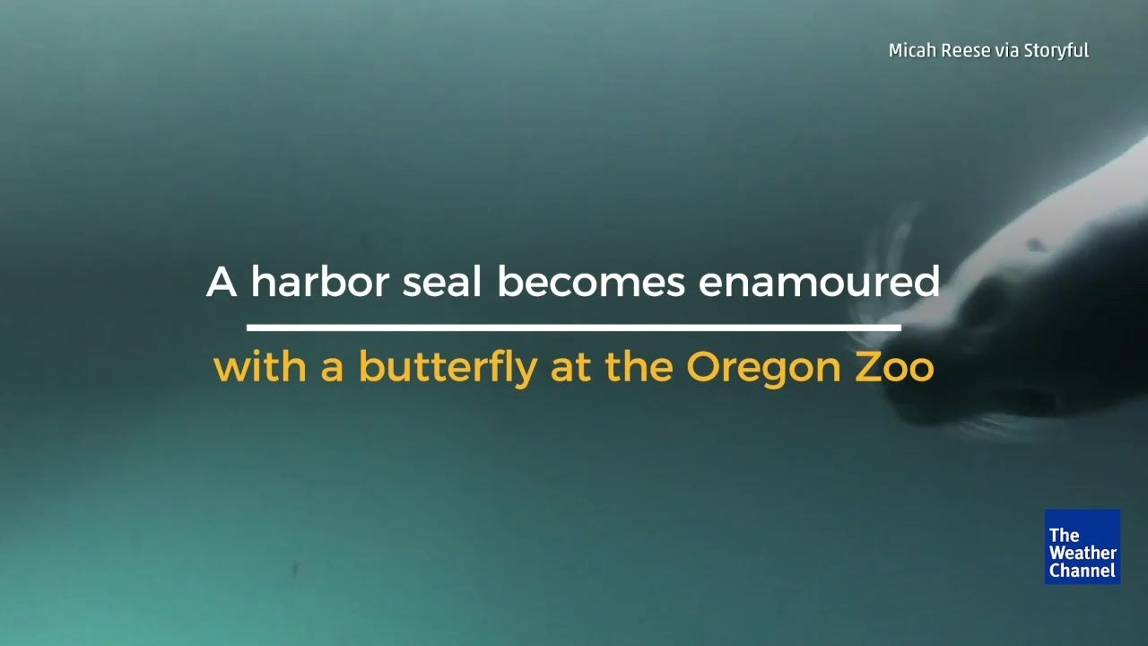 Adorable footage captures seal playing with butterfly