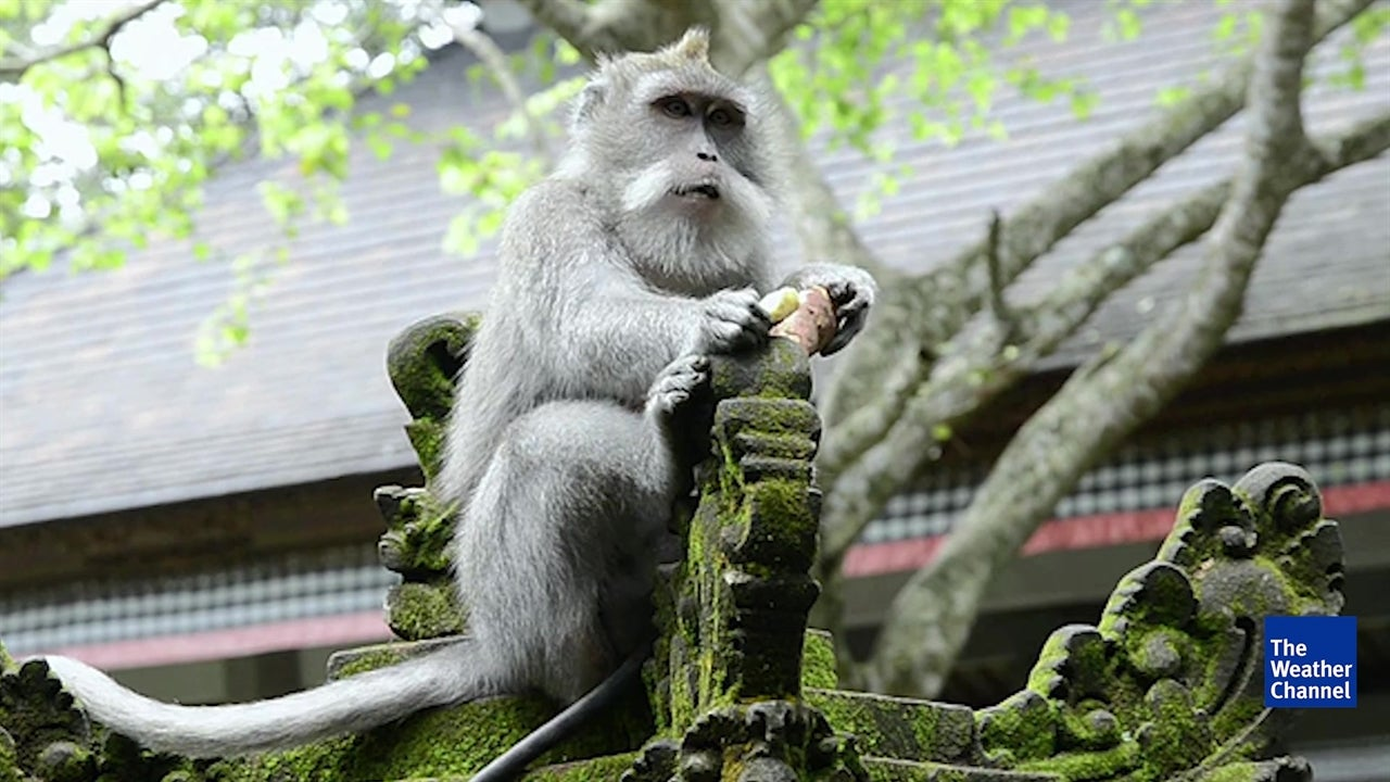 700 Monkeys Roam Free in Bali's Sacred Forest