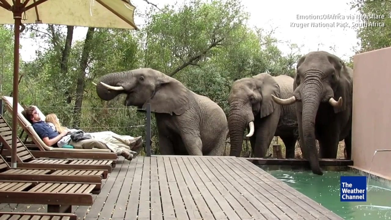 Tourists freeze as wild elephants drink from resort's swimming pool
