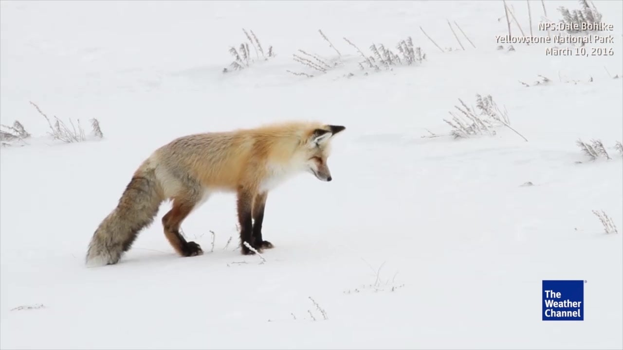Hungry Fox Dives into Snow Like It's Water