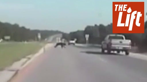 Bear Keeps Going After Being Hit by Truck