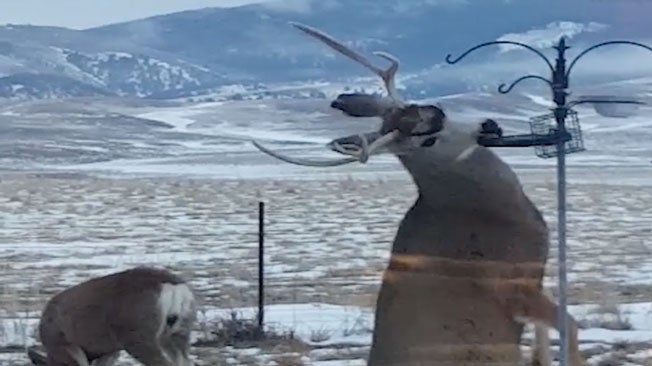Skilled Deer Expertly Steals a Meal