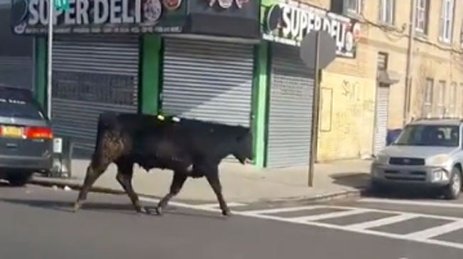 Bull Flees the Butcher, Then Tours NYC