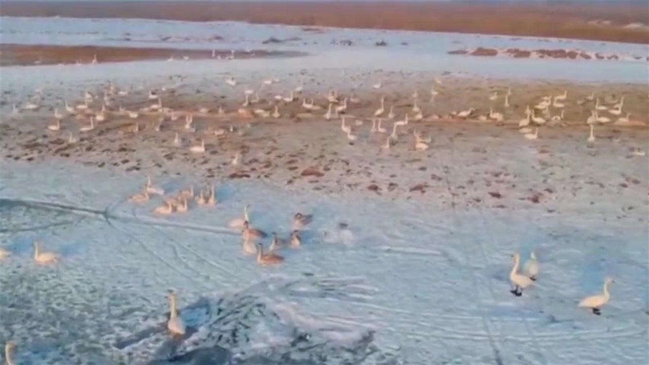 Cisnes chegam a lago gelado na China para o inverno