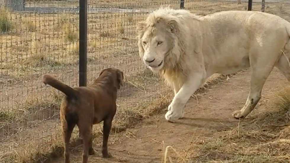 A chocolate lab and a white lion exchange a high five in mexico city a chocolate lab and a white lion exchange a high five in mexico city the weather channel m4hsunfo