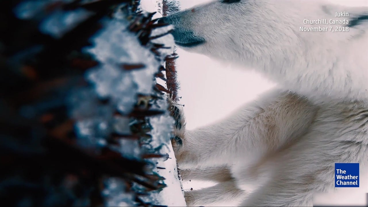 Mira a un oso polar jugar con la cámara como un juguete