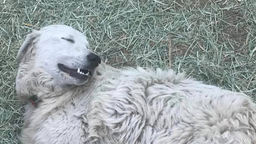 Hero Dog Saves Goats During Wildfire