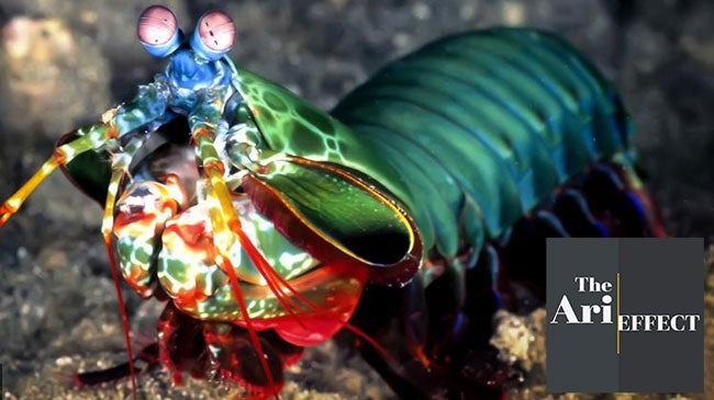 peacock mantis shrimp is extremely violent