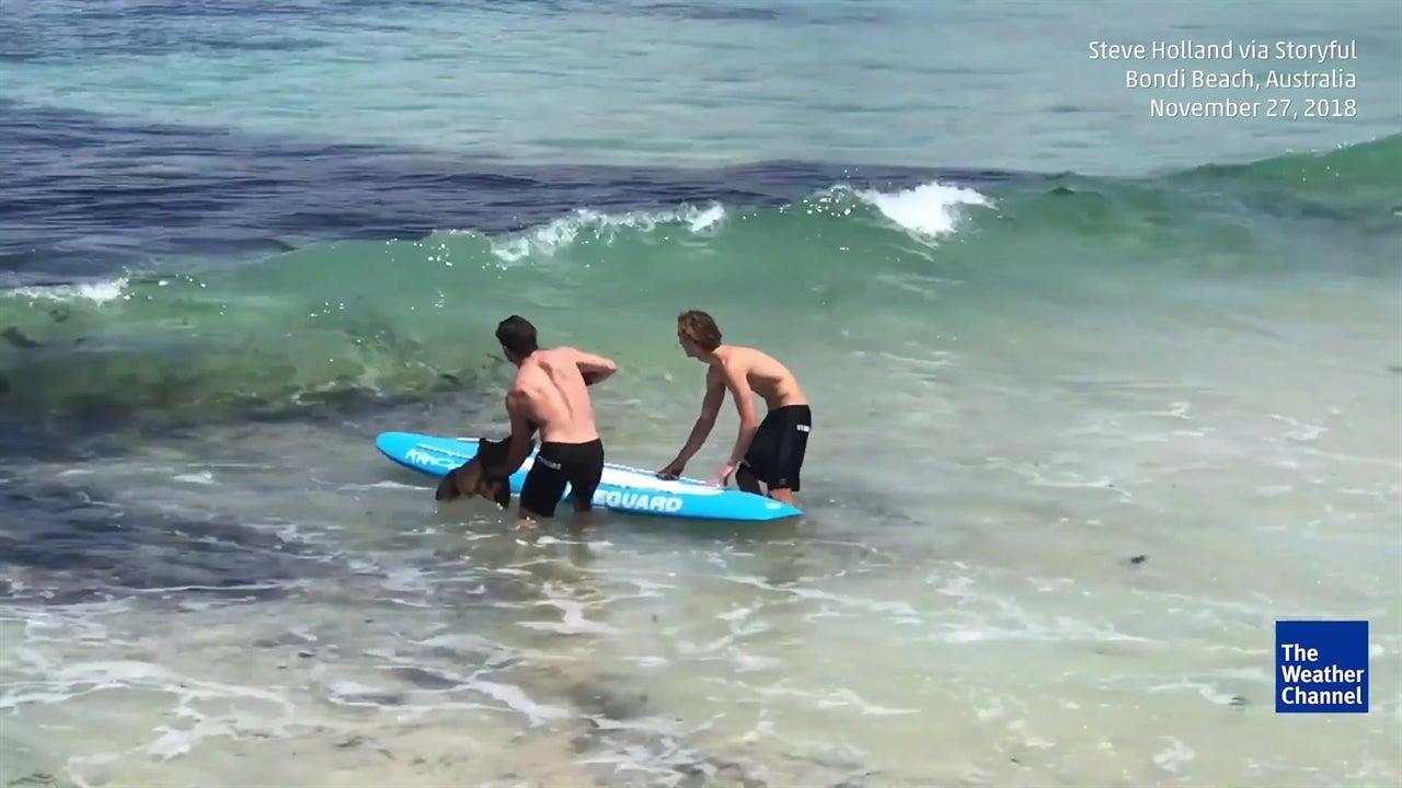 Salvavidas australianos rescatan a tiburón varado