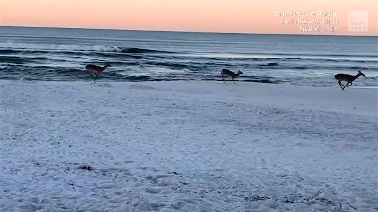 Venado corre sobre la playa al amanecer en Florida