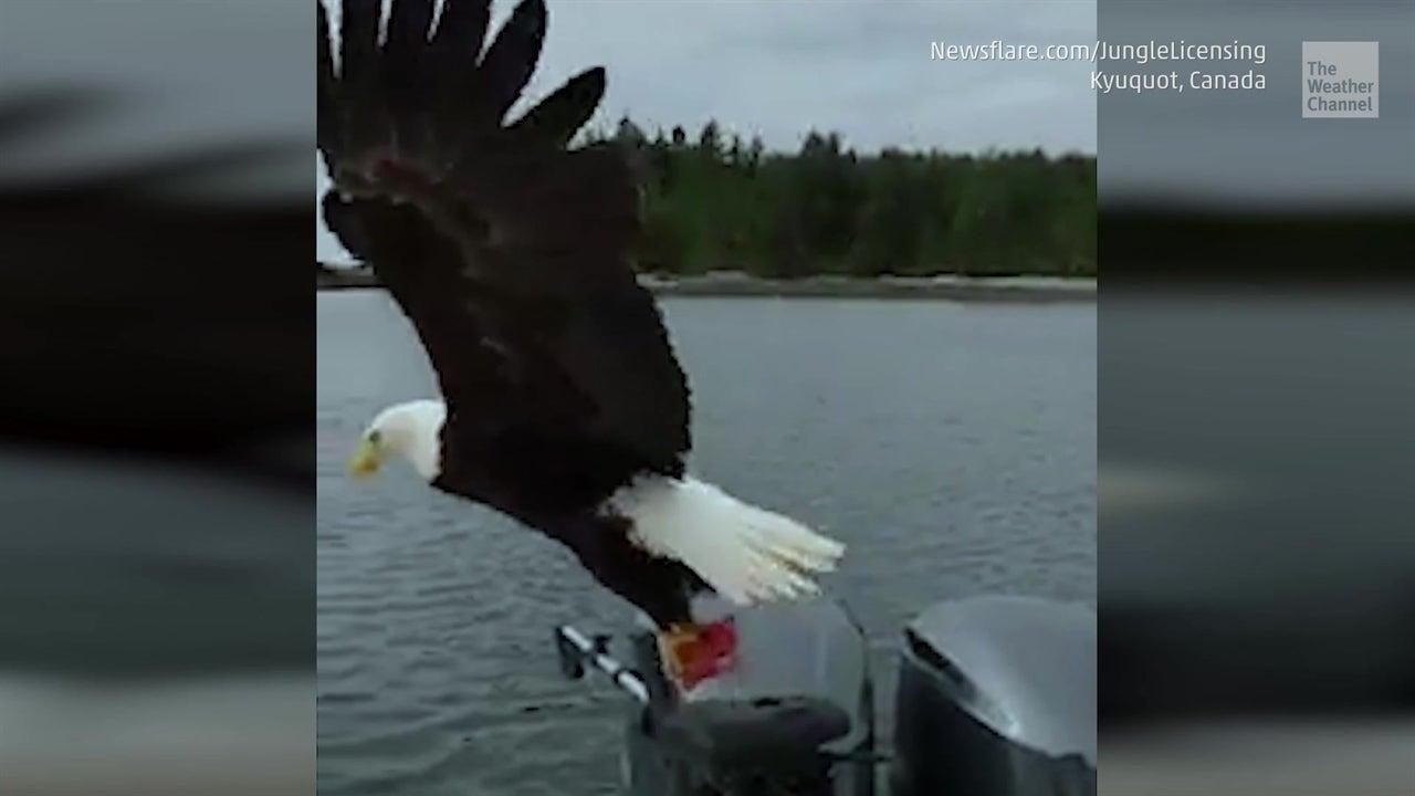 Majestuosa águila en cámara lenta