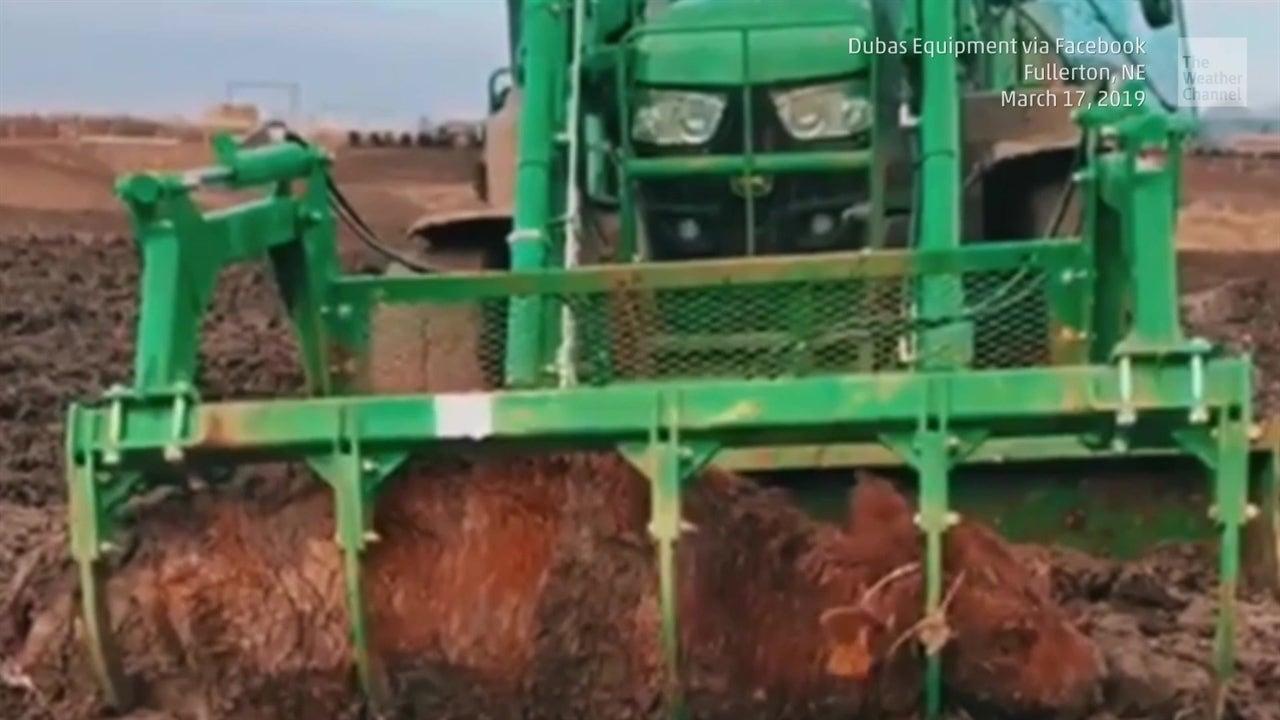 Ingeniosa táctica para salvar a esta vaca