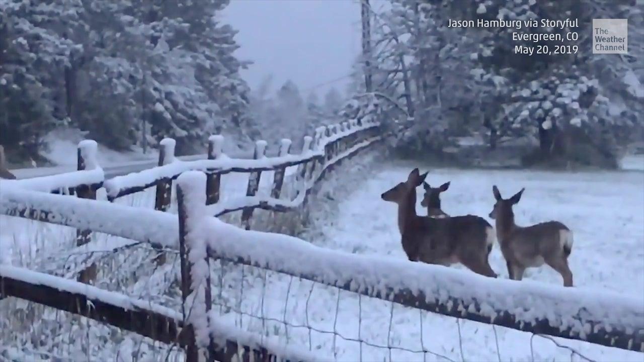 Este guardaparque de Colorado decidió ayudar a un grupo de venados cruzar el camino, dejando a conductores contemplar un espectáculo adorable.