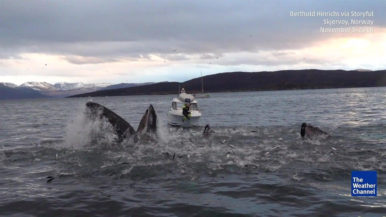 Mira a estas ballenas jorobadas darse un festín de peces en Noruega