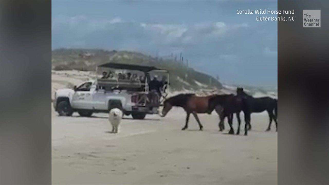 Los perros sin correa de turistas molestan a los caballos salvajes que viven en North Carolina Outer Banks. Esto es tremendamente peligroso.