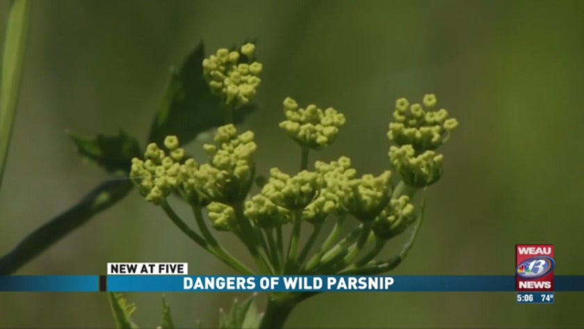 Dangers of Wild Parsnip