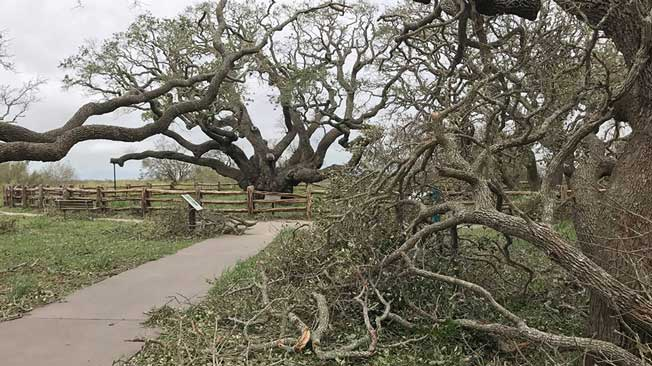 Ancient Tree Survives Harvey In Rockport Tx The Weather