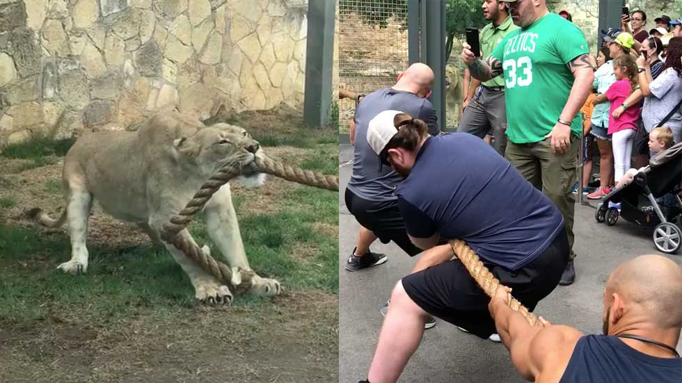 Watch Pro Wrestlers Take on Lion Cub in Game of Tug of War